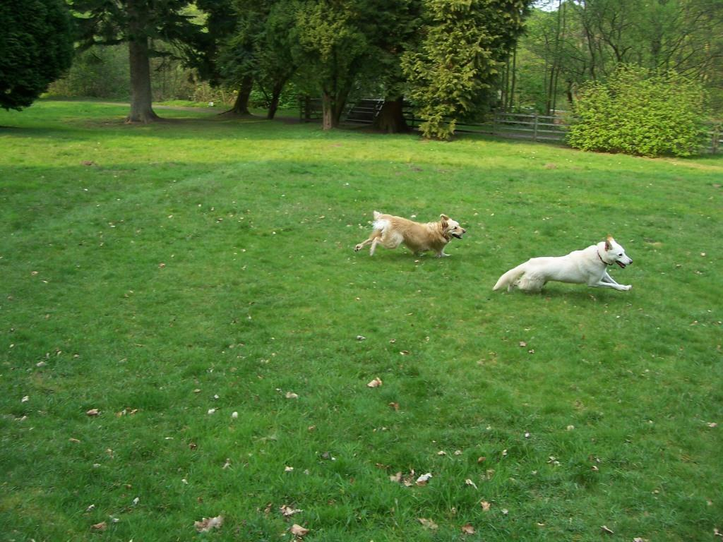 Dog Friendly Hotel in Brecon Craig y Nos Castle two dogs running off lead in Lower Garden