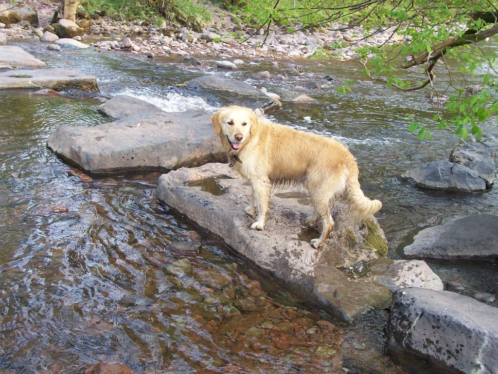 Dog Friendly Holidays Brecon Wales Jack the dog crosses River Tawe stepping stones in Craig y Nos Country Park