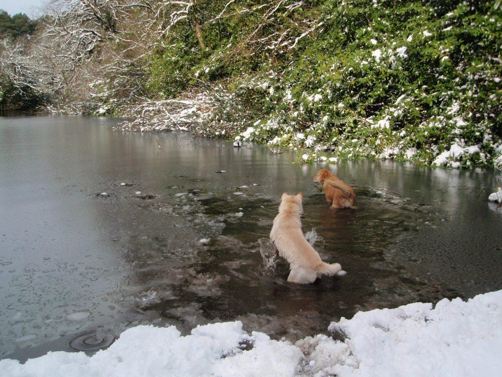 Dog Friendly Hotel Swansea Wales Jack and Sheeba dogs enter frozen lake at Craig y Nos Country Park in Winter Snow