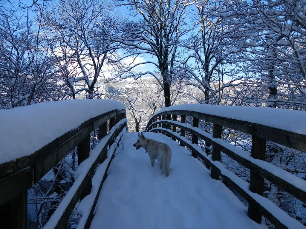 Dog Friendly Hotel Swansea Wales Craig y Nos dog on Wooden footbridge Country Park in Winter Snow