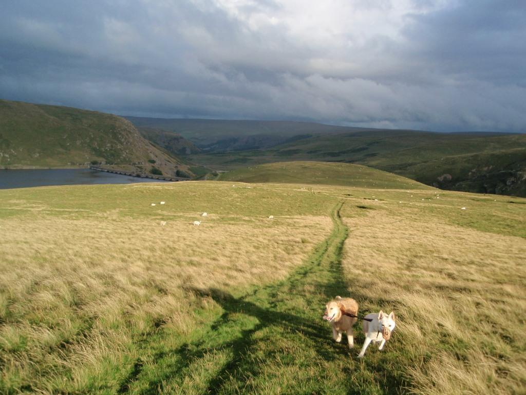 Claerwen Reservoir open mountain-top dog walking above reservoir