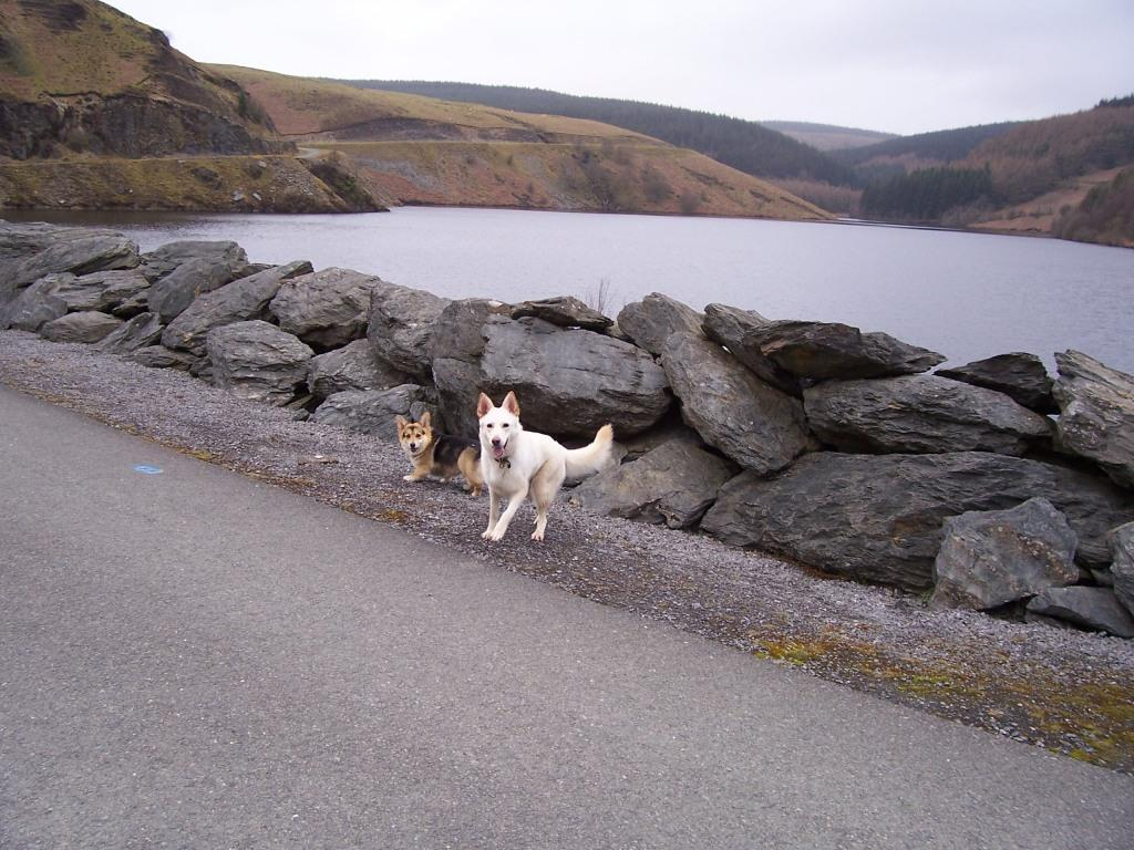 Llyn Brianne Reservoir dogs walking on dam