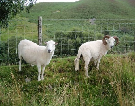 Dog friendly B&B Wales - Usk Reservoir Dog Walk with two happy sheep